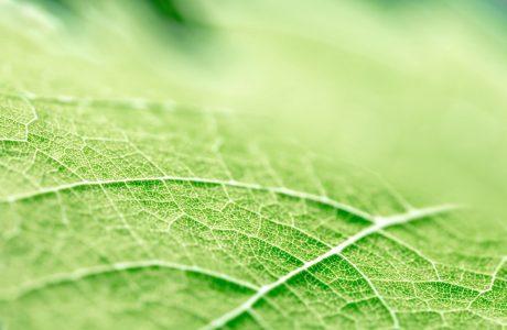 Doğal Bir Yapı, Yapraklar Pil Ömrünü Uzatabilir, 25 Kat Daha Fazla Enerji